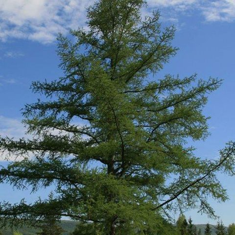 An eastern Canadian larch tree growing on Cape Breton Island.